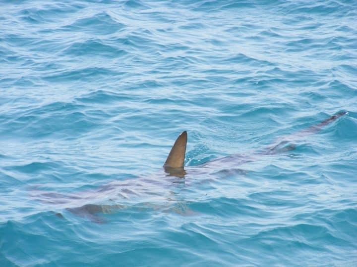 requins une menace à la Réunion